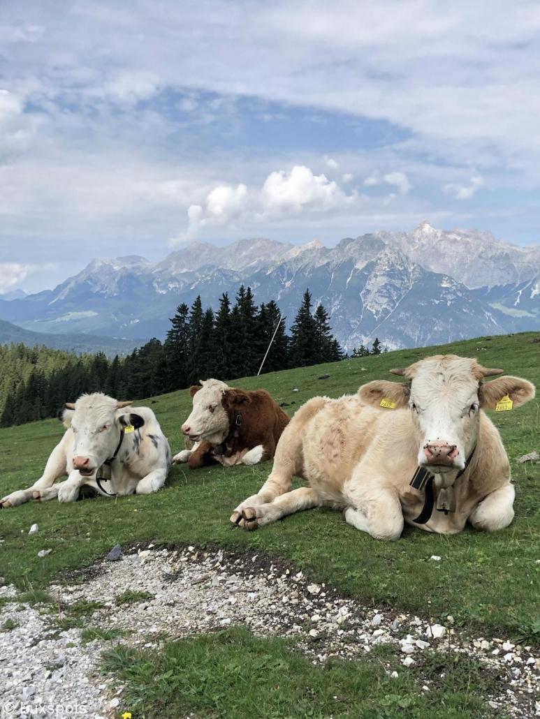 Drei Kühe in Seefeld, Tirol